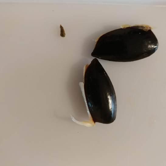 Mamey seed