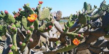 Flowering cacti at Cañada de la Virgen. Photo by Angela Grier