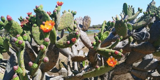 Flowering cacti at Cañada de la Virgen. Photo by Angela Grier