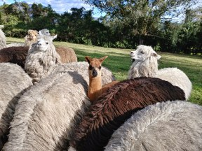 Llamas!!! Photo by Angela Grier